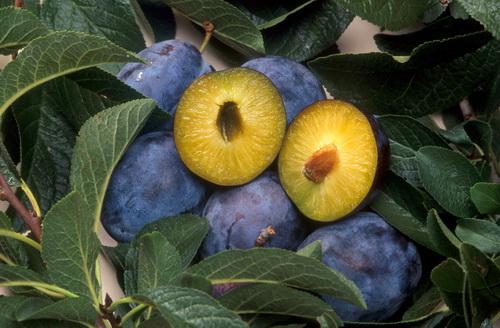 Prunus domestica, prune