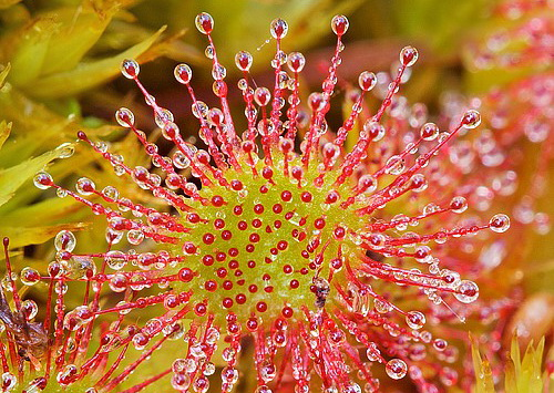 38-17-Roua cerului, Drosera rotundifolia